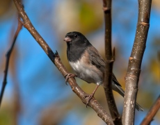 Dark-eyed (Ore.) Junco