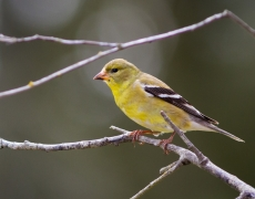 Amercan Goldfinch