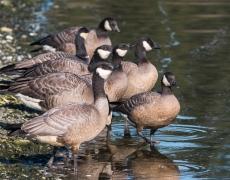 Cackling Goose