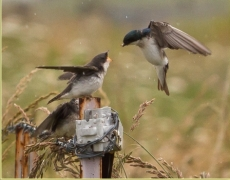 Tree Swallow sequence at 8 fps