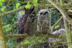 Great Horned Owl, with owlets