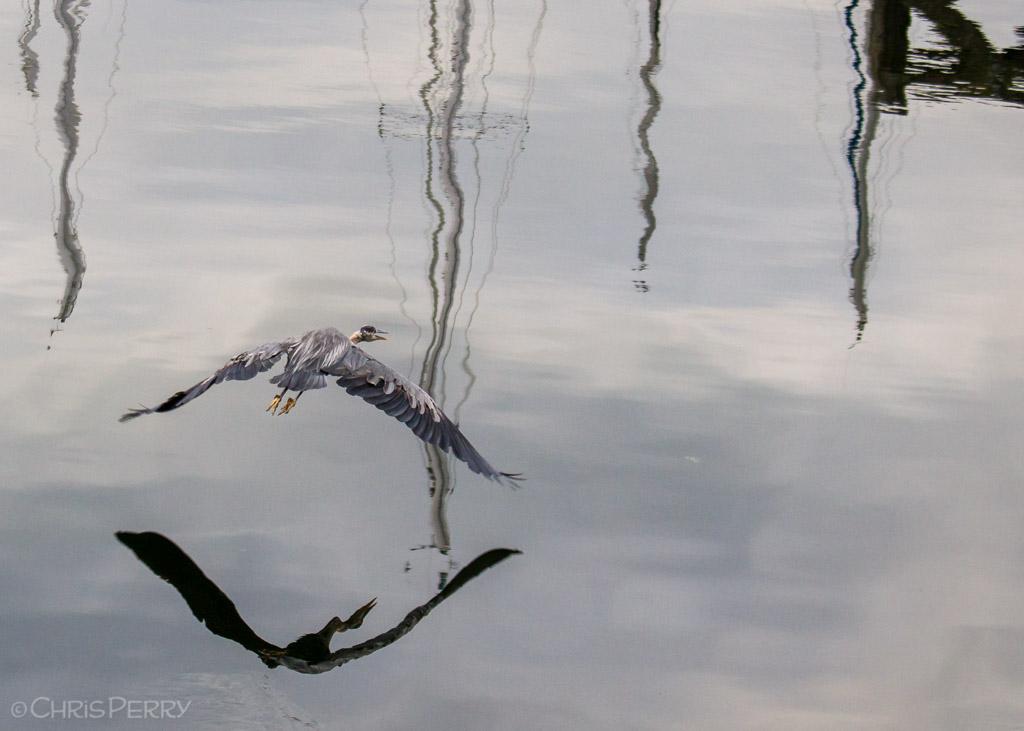 Great Blue Heron, John Wayne Marina