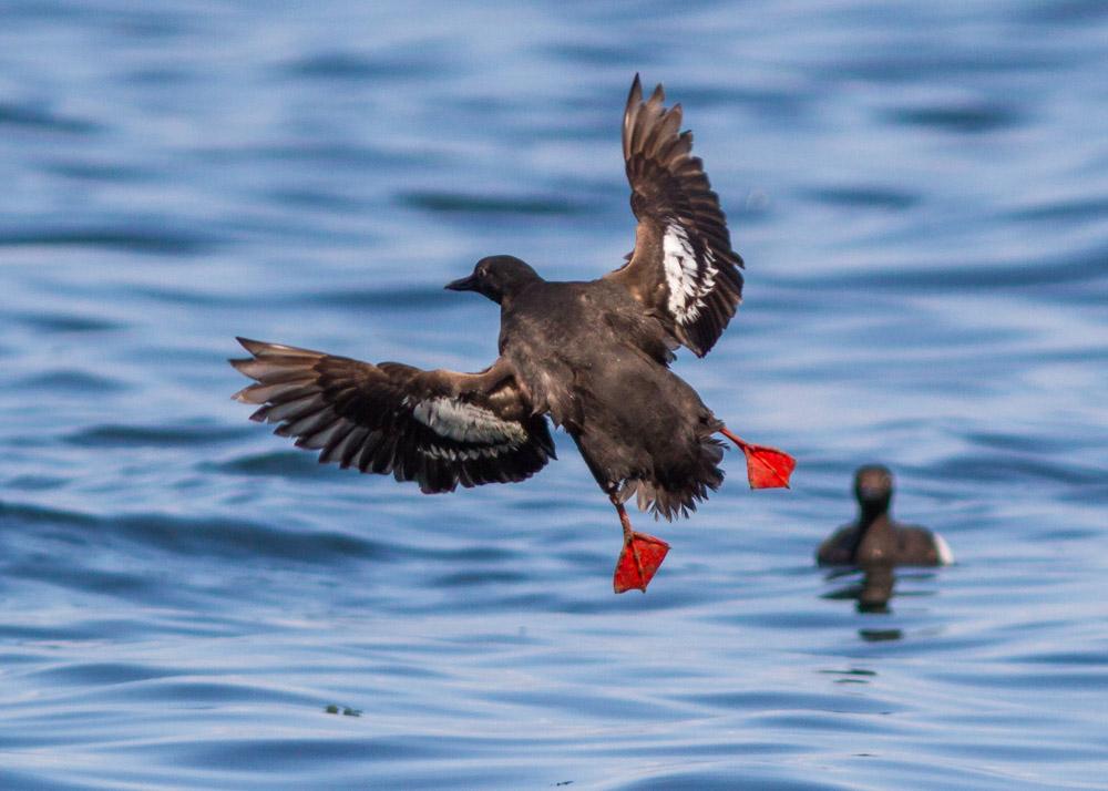 Pigeon Guillemot, Port Williams